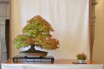 Acero palmato giapponese - Elio's Club 2° premio latifoglie