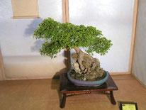 Acero buergerianum - Bonsainsieme - 3° premio latifoglie