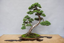 Juniperus chinensis - Bonsai Blu - Trofeo Conte Gianpietro Luigi Antonio Curone