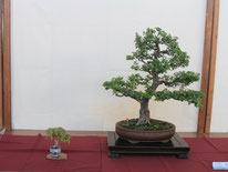Biancospino - Bonsai Club Martesana - 3° premio latifoglie