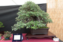 Pioppo - Bonsai Club Amici del Verde - 3° premio latifoglie
