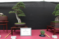 Cipresso - Boves Bonsai Club - Permio IBS Bonsai