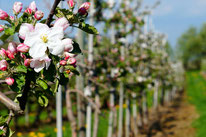 Obstanlage, Obstbau, Obstbaum, Äpfel, Birnen