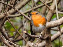 NABU Singvögel Rotkehlchen
