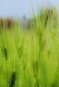 美しき山里中津川花々を訪ねて芽吹き新緑麦の穂まだ青く雨にぬれる