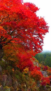 夕森公園もみじ川上川。中津川の里山の美しい紅葉真っ盛り付知峡美しい紅葉 紅葉まっさかり見所みどころ見ごろ中津川付知川河畔見所散策鉄道跡地遊歩道苔地衣類山野草しょうじょうばかまさんさくりどうとさみずきもみじやまざくらすみれしでこぶし