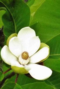 山しゃくなげ咲く。自然満喫岐阜県中津川市中津川山野草美しい渓谷