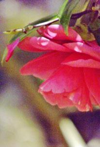 付知狭不動渓谷しゃくなげ2107春名残の桜しゃくなげ美しい付知狭不動渓谷。中津川の里山の春真っ盛り中津川付知峡周辺食事処山菜料理筍料理