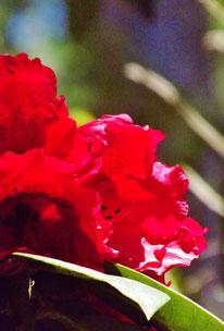 付知狭不動渓谷しゃくなげ2107春名残の桜しゃくなげ美しい付知狭不動渓谷。中津川の里山の春真っ盛り中津川付知峡周辺食事処山菜料理たけのこ筍料理