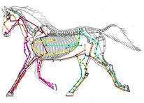 Shiatsu : les méridiens du cheval