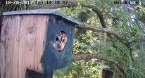 Waldkauz-Weibchen, NABU-Reinickendorf, 16.10.2017