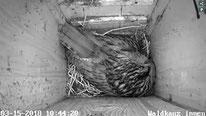 Weibchen beim Brüten, zwei Eier sind es inzwischen, 15.03.2018