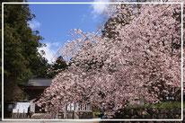 宍粟市の天然記念物に指定されている御形神社(御形神社)の正福寺桜
