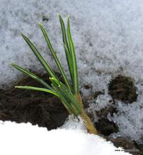 Foto und (c) Astrid Maul - Schneeglöckchen kommt durch die Schneedecke
