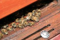 Einige unsere sommertags rund 400.000 Bienen vom friedlichen Stamm der apis mellifera.