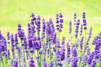 Naturheil Pflanzen Lavendel