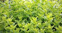 Naturheil Pflanzen Minze