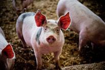 Porcs élevés par François Tavé