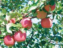 EM 葉とらずりんご「葉ッピー」