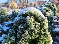 Grünkohl-Winter-Gemüse
