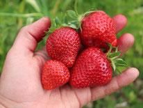 Erdbeeren im Garten anbauen