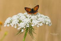 Tips voor het fotograferen van vlinders