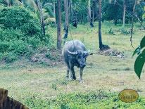 Büffel Thailand
