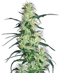 Cannabis Seeds Purple Haze Feminised Sensi Seeds Amsterdam