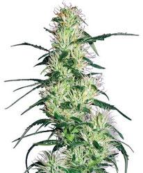 Cannabis Seeds - Buy Cannabis Seeds Online: - Cannabis