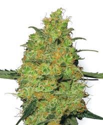 Cannabis Seeds Master Kush Sensi Seeds Amsterdam