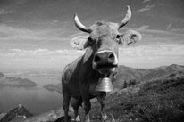 Crazy Swiss cow
