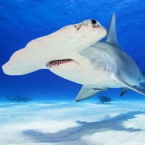 hammerhead shark facts