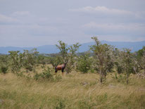 Savanne mit Antilope im Queen-Elizabeth-Nationalpark in Uganda