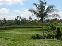 Reisfelder in Ubud auf Bali