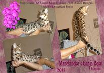 Manekineko Bengals cats