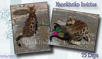Manekineko Kittens bengals