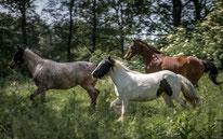 Freilaufbilder Pferde