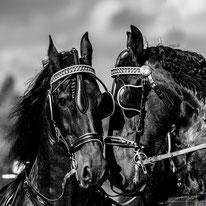Pferdefotografie und Pferdefotos in Hamburg, Niedersachsen und Schleswig-Holstein