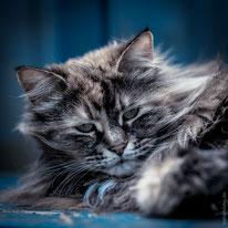 Katzenfotografie und Katzenfotos in Hamburg, Niedersachsen und Schleswig-Holstein