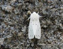 Breitflügeliger Fleckleibbär (Spilosoma lubricipeda)© Mag. Angelika Ficenc
