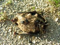 Fledermaus, totfund, Aaskäfer, © Mag. Angelika Ficenc