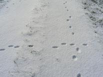 Feldhase (Lepus europaeus) - Spuren, Säugetiere, Winter, Schnee, tierspuren.at
