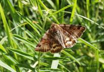 Braune Tageule (Euclidia glyphica) , Eule, Falter, Tierportraits, tierspuren.at