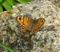 Mauerfuchs (Lasiommata megera), Edelfalter, Nymphalidae, Augenfalter, Saturinae, Tagfalter, Tierportraits, tierspuren.at