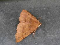 Federfühler Herbstspanner (Colotois pennaria), Nachtfalter, Spanner, Geometridae, Tierportraits, tierspuren.at