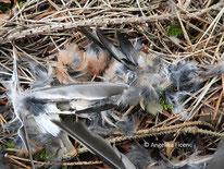 Buchfink (Fringilla coelebs), Männchen, Federn, Rupfung, Vogel, tierspuren.at