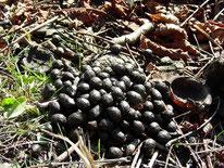 Reh (Capreolus capreolus) - Kotbeeren, Losung, Tier, Natur, Rotwild, tierspuren.at