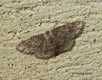 Zackenbindiger Rindenspanner (Ectropis crepuscularia), Spanner, Geometridae, Nachtfalter, Tierportraits, tierspuren.at