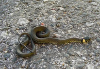 Ringelnatter (Natrix natrix) - Totfund, Jungtier, Schlange, Reptil, tierspuren.at