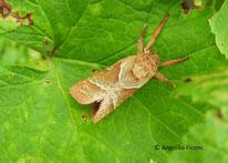 Ampfer-Wurzelbohrer (Triodia sylvina), Schmetterling, Nachtfalter, Hepialidae, Tierportraits, tierspuren.at